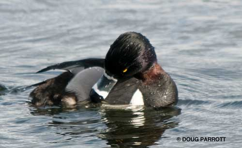 Ring-necked Duck showing ring on neck