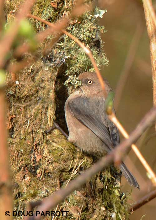 Bushtit home construction.