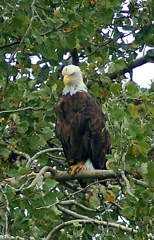 Bald Eagle, adult