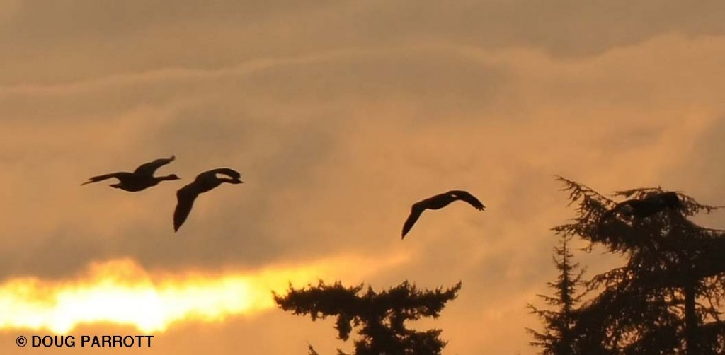 Ducks flying at sunrise