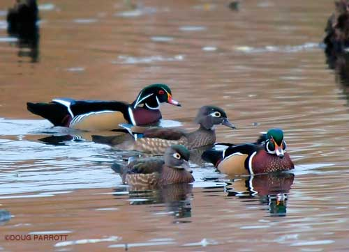 Wood Ducks on a double date