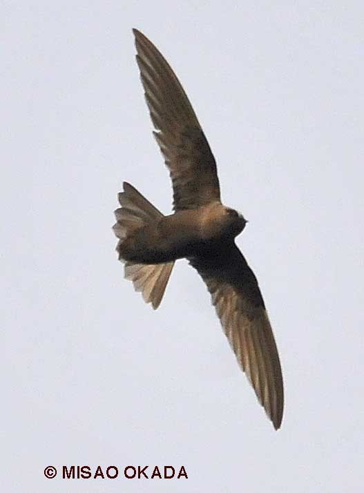 Black Swift in flight
