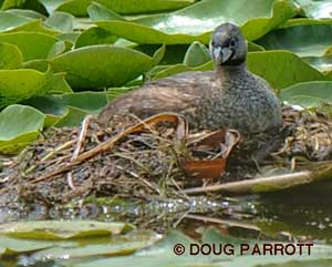 Pied-billed Grebe on nest