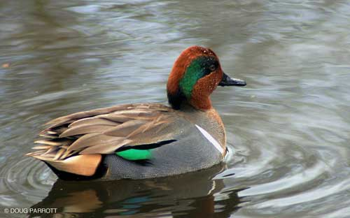 Green-winged Teals have left for parts north and east to breed.